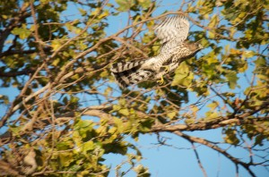 Hawk taking flight from tree